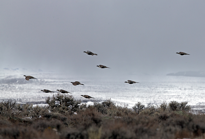 Greater Sage-Grouse flock in flight