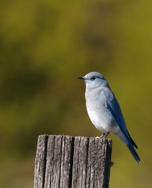 Mountain Bluebird, Delta Barley Project