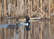 Ring-necked Drake and Hen, Peat Ponds, Fairbanks