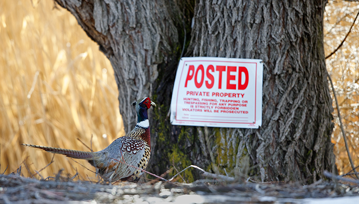 Ring-necked Pheasant Cock Trying to Understand No Trespassing Sign
