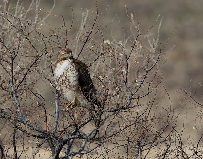 Red-tailed Hawk, Swan Falls Dam, Snake River
