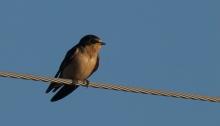 Barn Swallow, Yakutat, Alaska