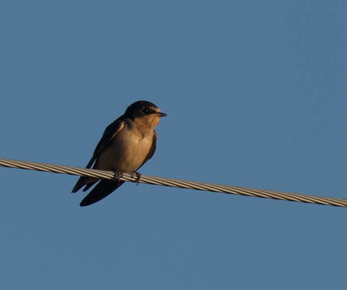 Barn Swallow, Yakutat, Alaska