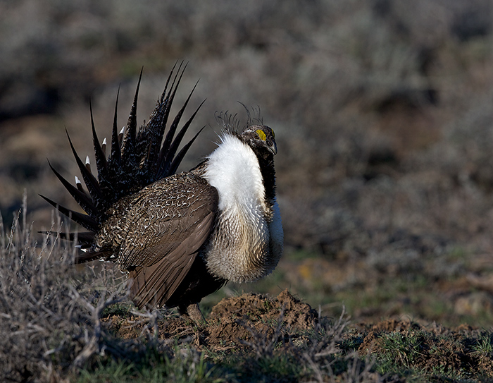 Greater Sage-Grouse Male, Gooding County, Idaho