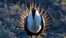 Male Sage Grouse Strutting His Stuff