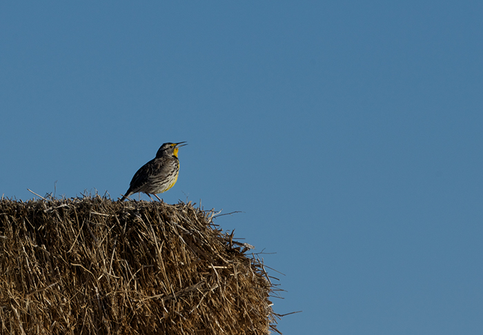 Western Meadowlark Announcing His Arrival