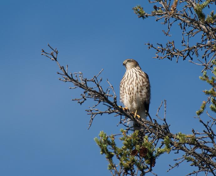 Sharp-shinned Hawk Juvenile, Chena Hot Springs Road