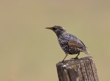 Eurasian Starling, Ada County, Idaho