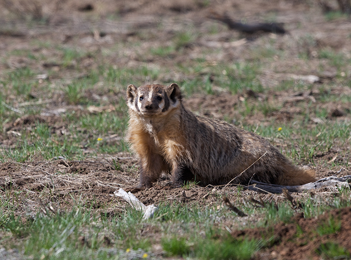 American badger (Taxidea taxus), Camas Prairie, Idaho