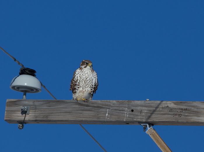 Prairie Falcon. Morley Nelson Snake River Birds ofPrey NCA
