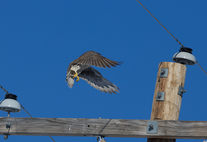 Prairie Falcon, Morley Nelson Snake River Birds of Prey National Conservation Area