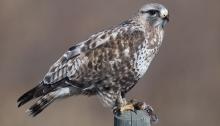 Rough-legged Hawk with Prey, Delta Agricultural Fields, Delta Junction, Alaska