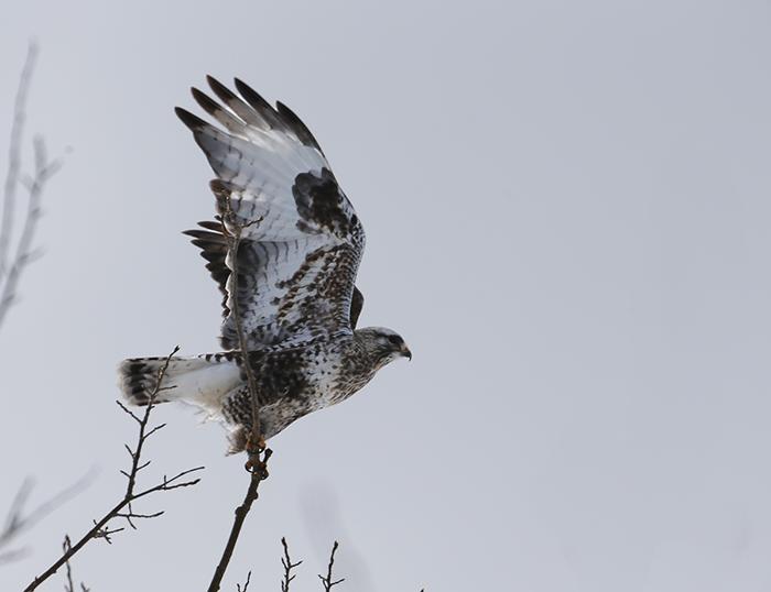 Rough-legged Hawk Takeoff, Delta Agricultural Fields, Delta Junction, Alaska