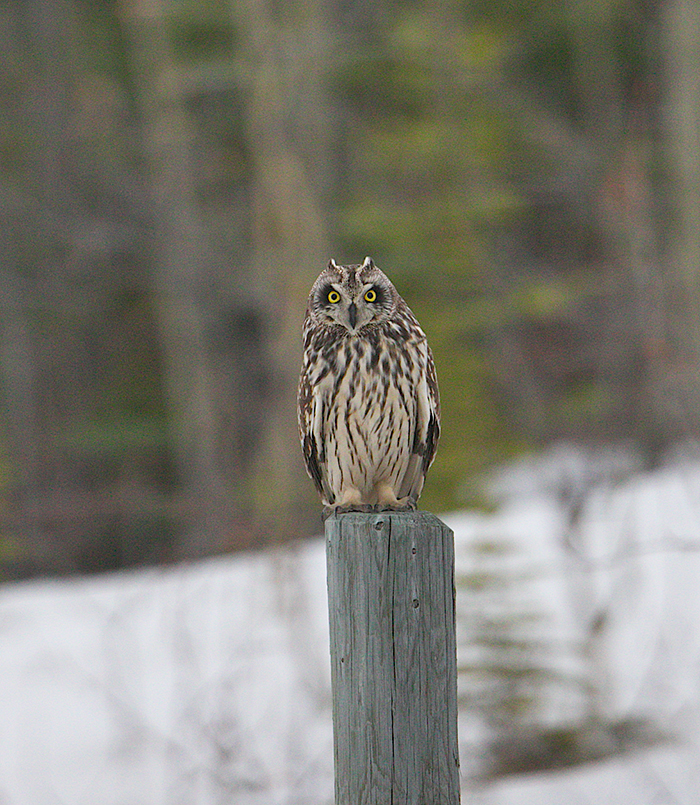 Short-eared Owl, Delta Agricultural Project, Delta Jnction, Alaska