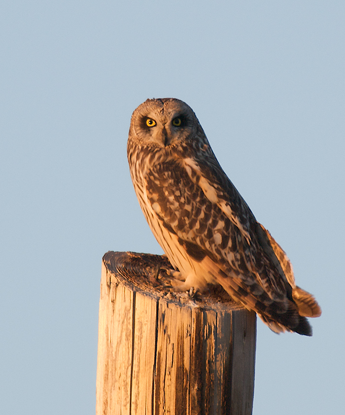 Short-eared Owl, Shaw Creek Flats, Alaska