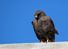 Swainson's Hawk, Fairbanks