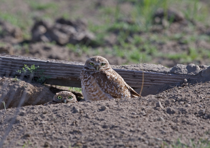 Burrowing Owls at Their Nest, Malheur National Wildlife Refuge