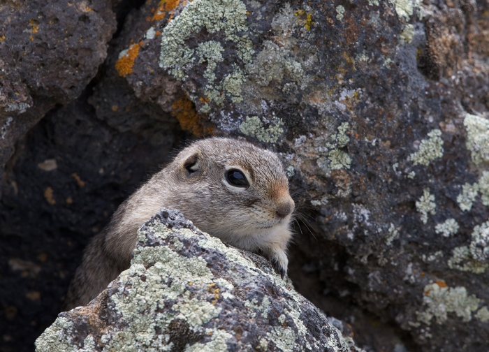 Piute Ground Squirrel. Morley Nelson Birds of Prey National Conservation Area