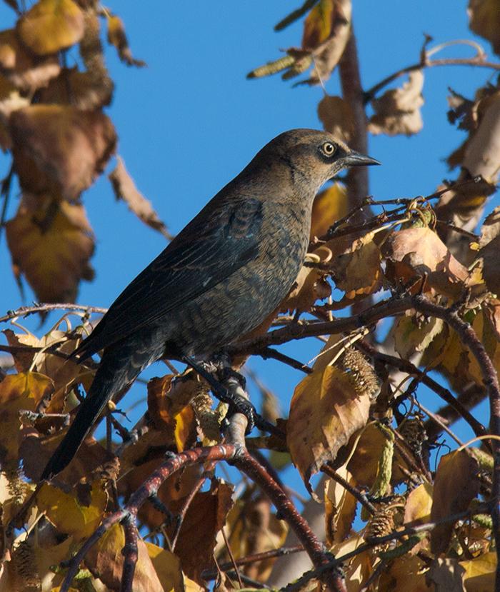 Rusty Blackbird, Richardson Highway, Alaska