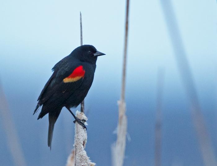 Red-winged Blackbird, Malheur NWR, Oregon