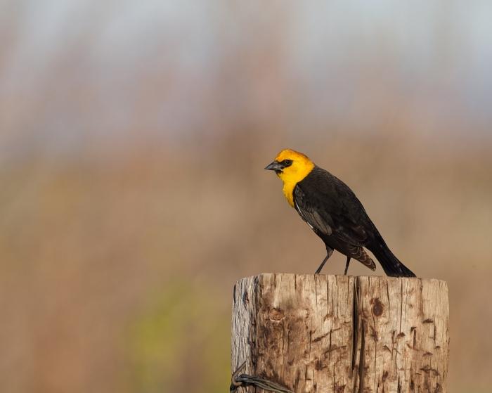 Yellow-headed Blackbird, U.S. 20, outside of Burns, Oregon
