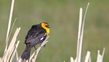 Yellow-headed Blackbird, Malheur NWR, Oregon