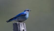 Male Mountain Bluebird, Camas Prairie, Idaho