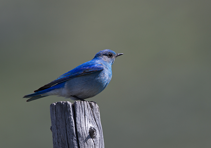 Male Mountain Bluebird, Camas Prairie, Idaho