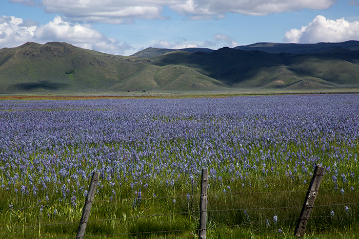 Camas Lilies, looking south at Bennet Mountain, Idaho