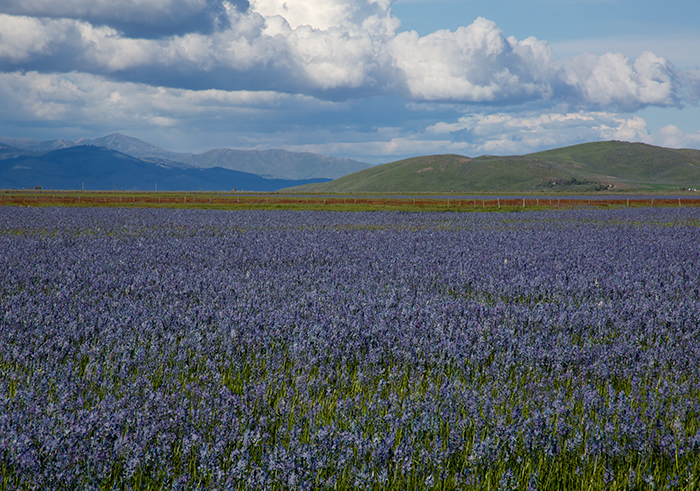 Camas Lilies, looking northeast towards the Sawtooth Mountains, Idaho