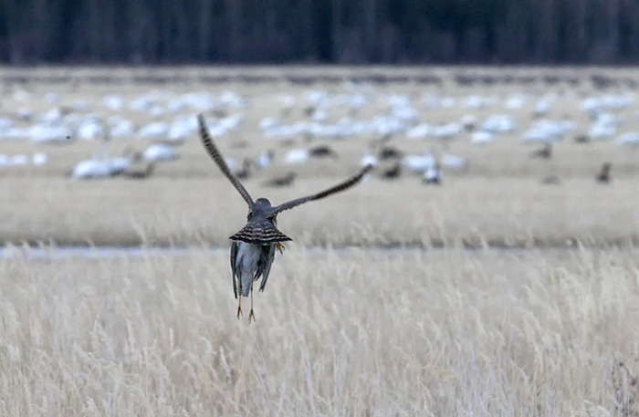 Merlin with Lesser Yellowlegs, Delta Agricultural Fields, Alaska