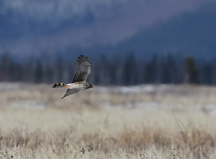 Northern Harrier, Delta Agricultural Project, Delta Junction, Alaska