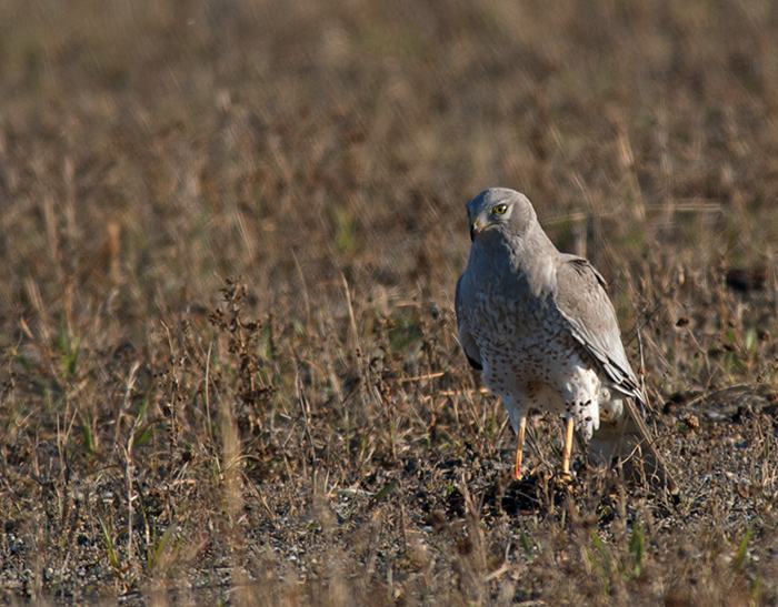Northern Harrier, Fort Greely Training Area, Alaska