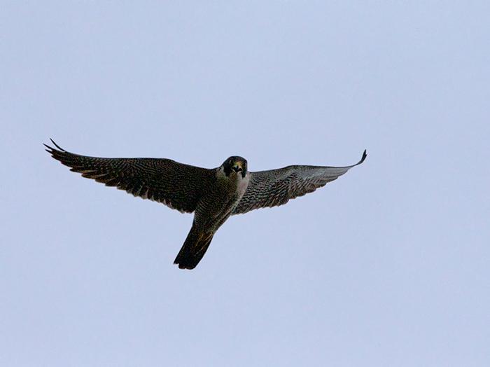 Peregrine Falcon, Tanana Bluffs, Alaska