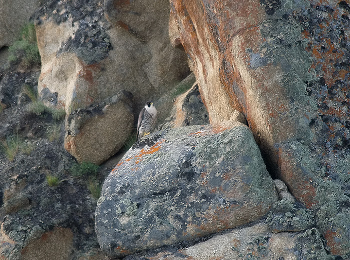 Peregrine Falcon, Tanana River Bluffs