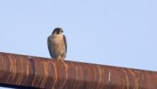 Peregrine Falcon, Tanana Lakes, Fairbanks
