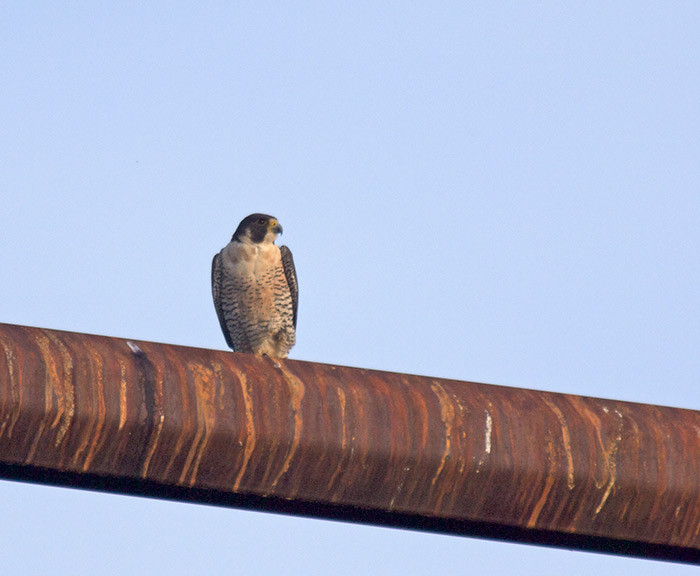 Peregrine Falcon, Tanana Lakes, Fairbanks