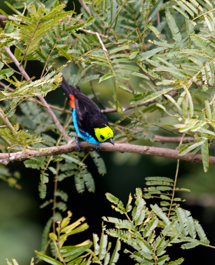 Paradise Tanager, Southern Ecuador