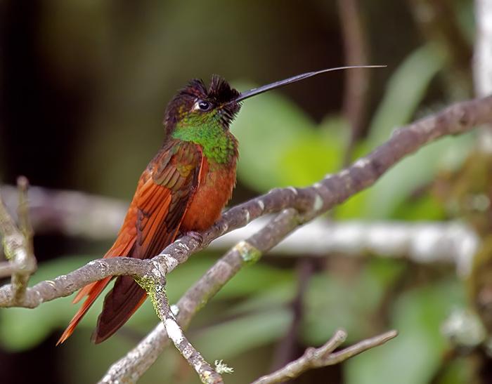 Rainbow Starfrontlet, Ecuador