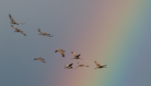 Sandhill Cranes and Rainbow, Creamer's Refuge, Alaska