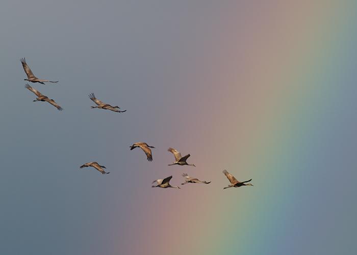 Sandhill Cranes and Rainbow, Creamer's Refuge, Alaska