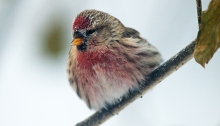 Common Redpoll, Fairbanks