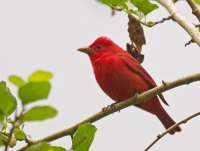 Summer Tanager, High Island, Texas