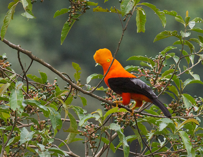 Andean Cock-of-the-Rock, Ecuador