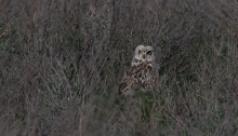 Short-eared Owl, Camas Prairie, Idaho