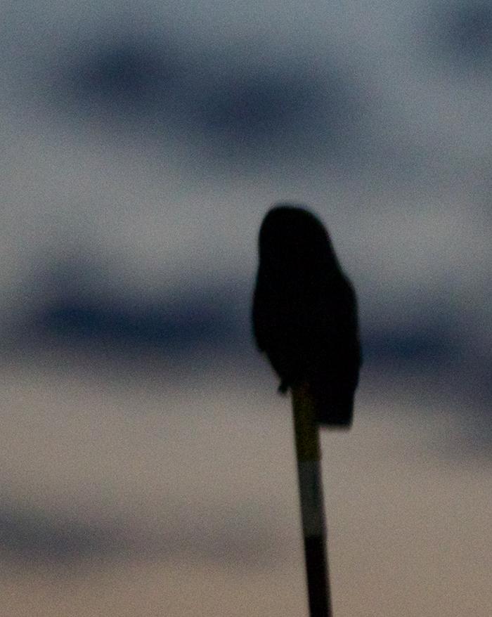 Short-eared Owl, Camas Prairie, at ISO25600