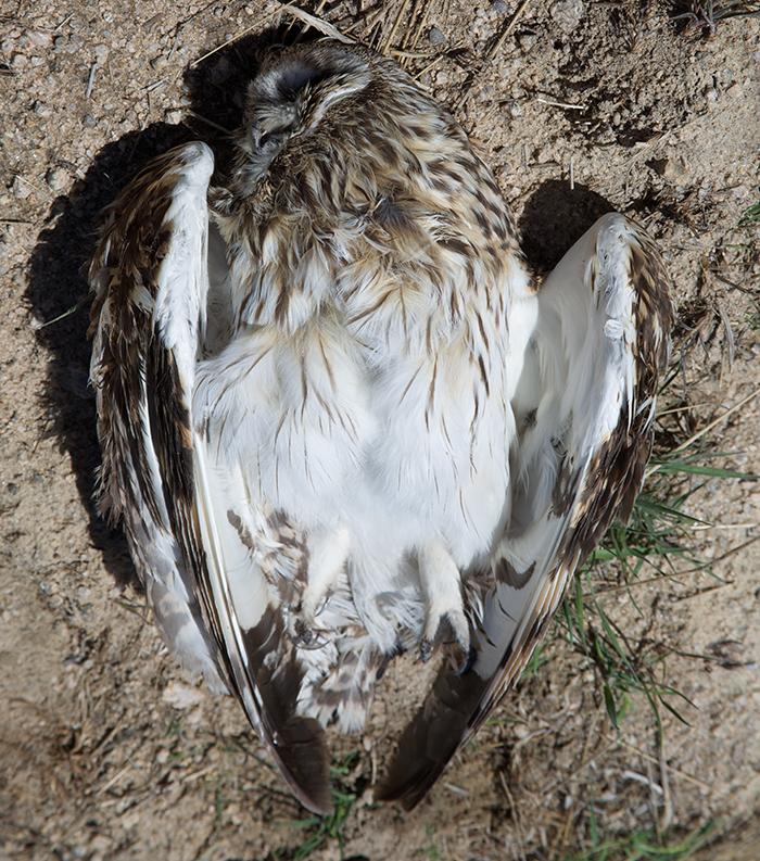 Road-killed Short-eared Owl, Camas Prairie, Idaho