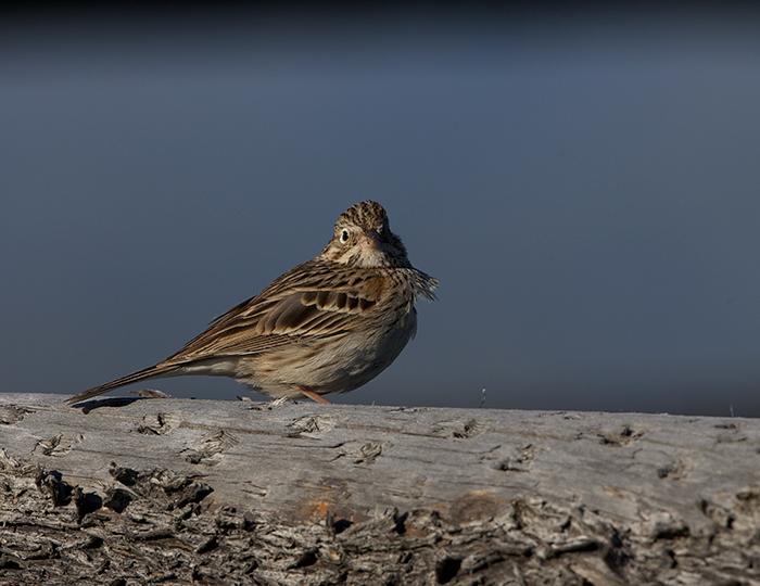 Vesper Sparrow, Camas Prairie, Idaho