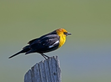 Yellowheaded Blackbird, Camas Prairie, Idaho