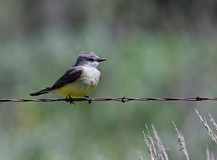 Western Kingbird, Camas Prairie, Idaho